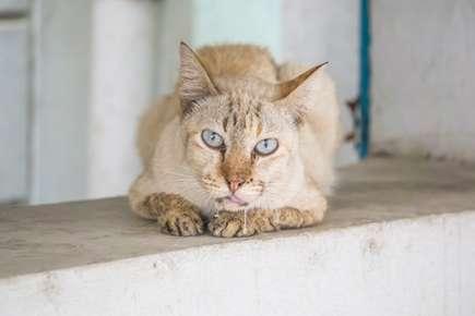 Feline Stomatitis: Treatments