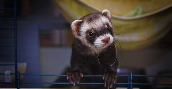 Food and Housing for Ferrets