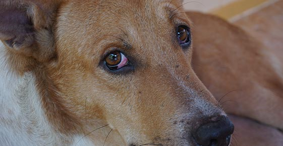 Evaluation and Diagnosis of a Red Eye in Dogs